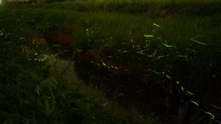 滋賀県米原市の天の川ほたるまつり