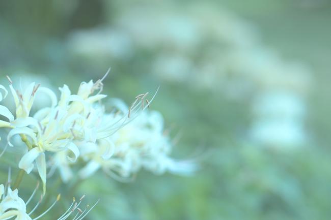 稲渕の棚田の彼岸花