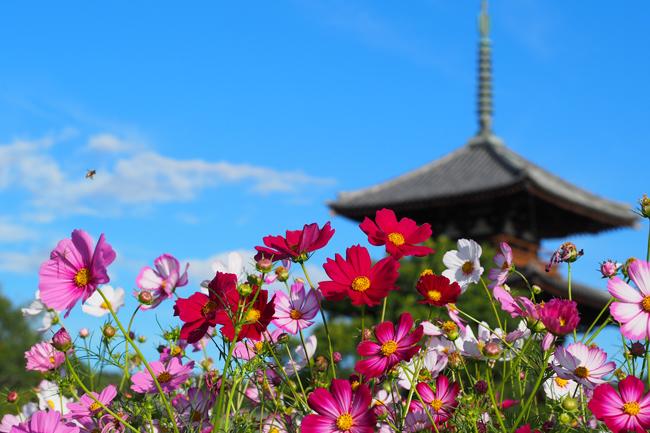 法起寺の三重塔とコスモス畑