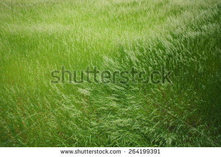 stock-photo-grass-wind-264199391