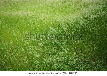 stock-photo-grass-wind-264199391