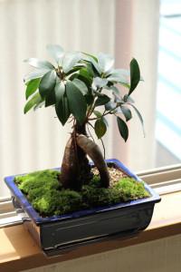 ガジュマル盆栽 鉢替えと苔張り