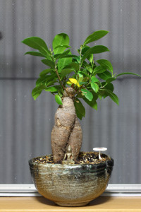 ガジュマル盆栽 キノコ生える