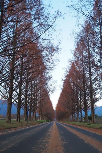 滋賀県マキノ高原のメタセコイア並木へ行ってきた
