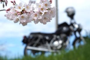 奈良お花見ツーリング2016 その2 佐保川編