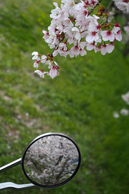 ST250と桜 in 滋賀