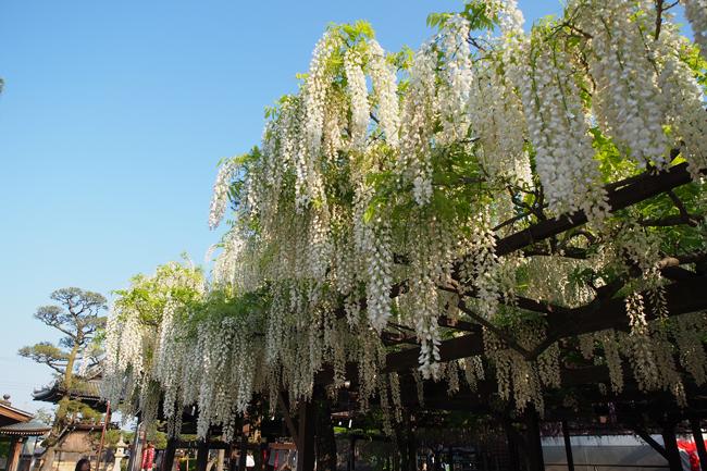 大阪の藤の花の名所 葛井寺の藤まつりに行ってきた