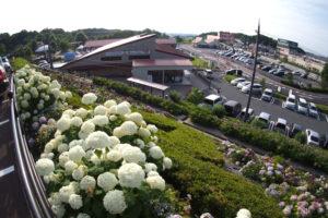 道の駅しらとりの郷・羽曳野の紫陽花がすごい