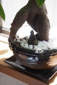 ガジュマル盆栽 鉢の下に皿を敷く