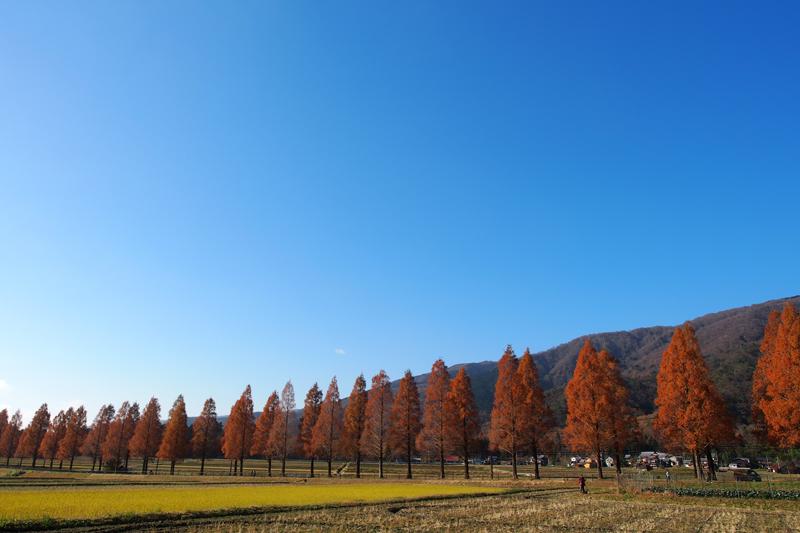 まっすぐと続く絶景の並木道! 滋賀県 メタセコイア並木の夜と昼
