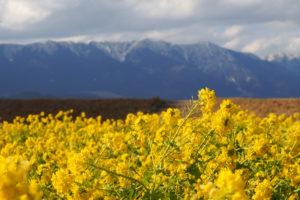 菜の花と雪山のコントラスト! 滋賀県守山市 第1なぎさ公園に行ってきた