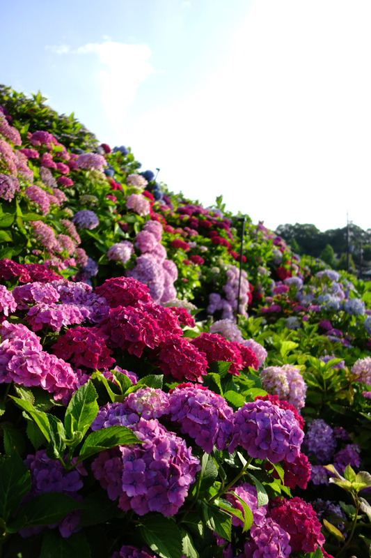 しらとりの郷の紫陽花