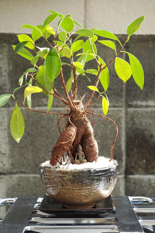 ガジュマル盆栽の土の入れ替え