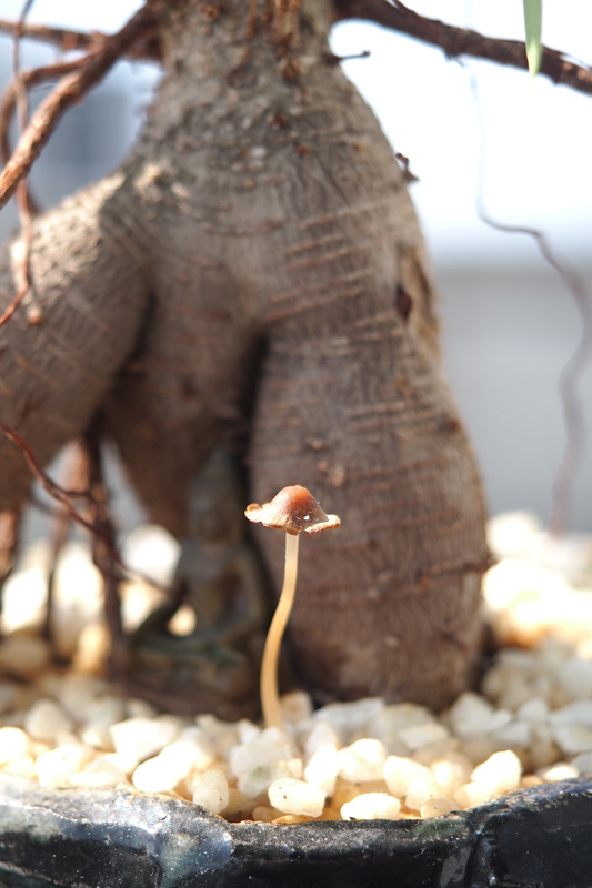 ガジュマル盆栽にキノコが生える