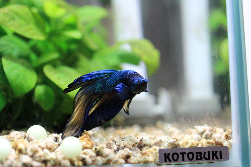 ベタ(闘魚)飼育日記
